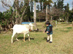 沖縄でヤギと向かい合う息子