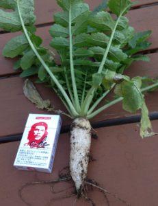 自宅の庭で栽培した大根