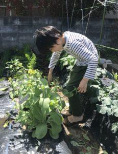 チンゲンサイの花を収穫する息子