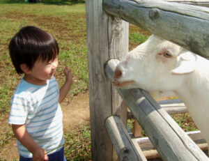 ヤギとアイコンタクトする息子